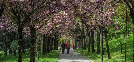 Dikmen Vadisi'nde Japon kiraz ağaçları görsel şölen sunuyor