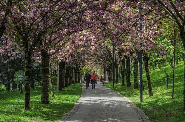 Dikmen'de Japon kiraz ağaçları görsel şölen sunuyor
