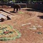 Fil 'Gabi'ye 50 bin kişiyle doğum günü kutlaması