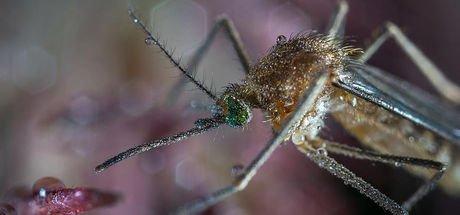 Çin'de dünyanın en büyük sivrisinek türü bulundu
