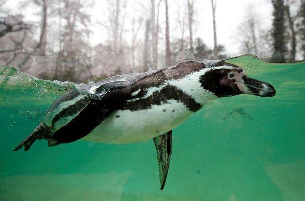 İmparator penguen su altında kalma rekoru kırdı!