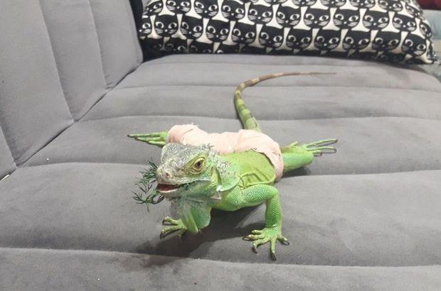 İguana Abidin