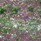 Kayısı bahçelerine dolu vurdu