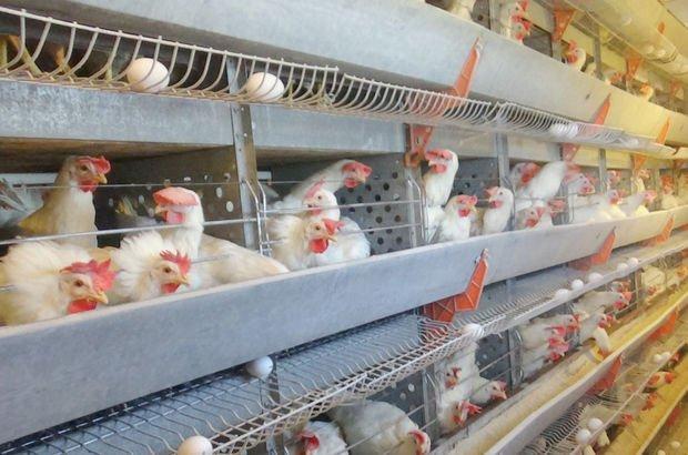 Beyaz et tavuk eti tavuk üretimi