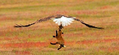 Tavşan, tilki ve kartalın kıran kırana mücadelesi kameralara böyle yansıdı