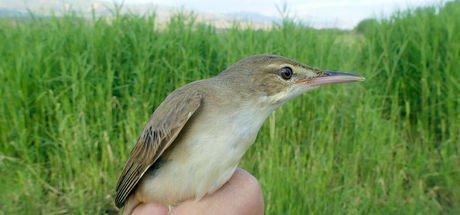 Türkiye'nin en yeni kuş türü Iğdır'da kayıt altına alındı