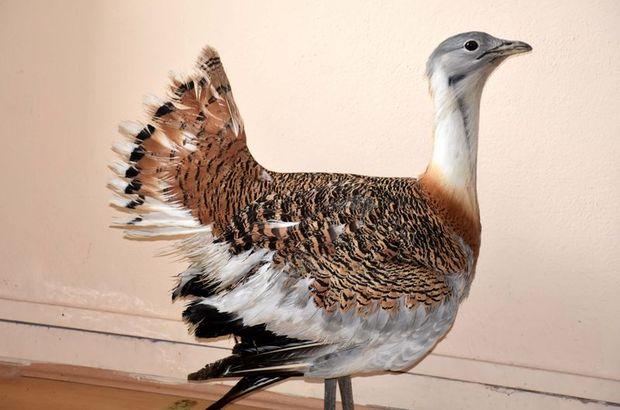Muş'ta nesli tükenmekte olan toy kuşu görüldü! Toy kuşu özellikleri
