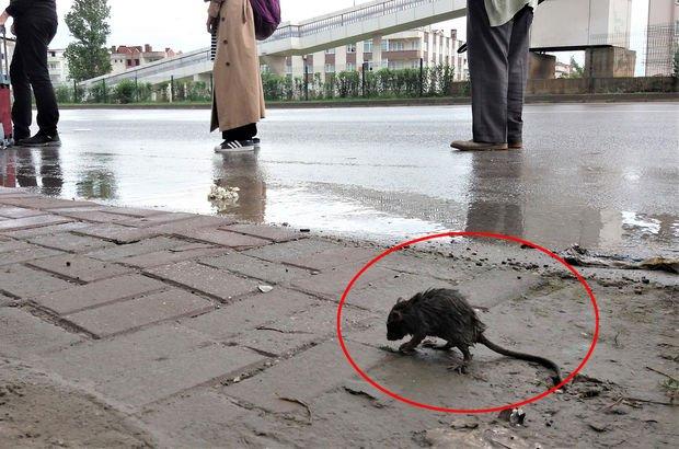 Bursa'da sağanak hayvanları da vurdu! Fare otobüs durağına sığındı