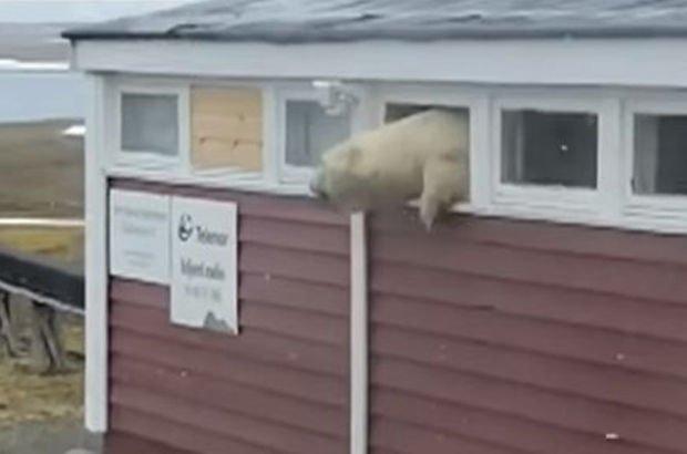 Kutup ayısı pencereye sıkıştı