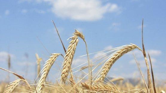 Buğday rekoltesi yüzde 8 düştü