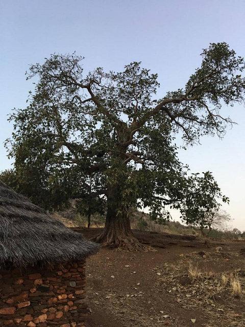Binlerce yıllık Baobab ağaçları ölüyor!