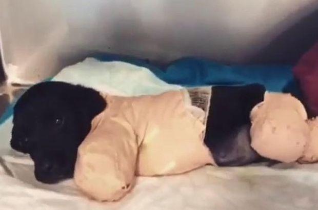 Bacakları kesilen yavru köpekten kötü haber!