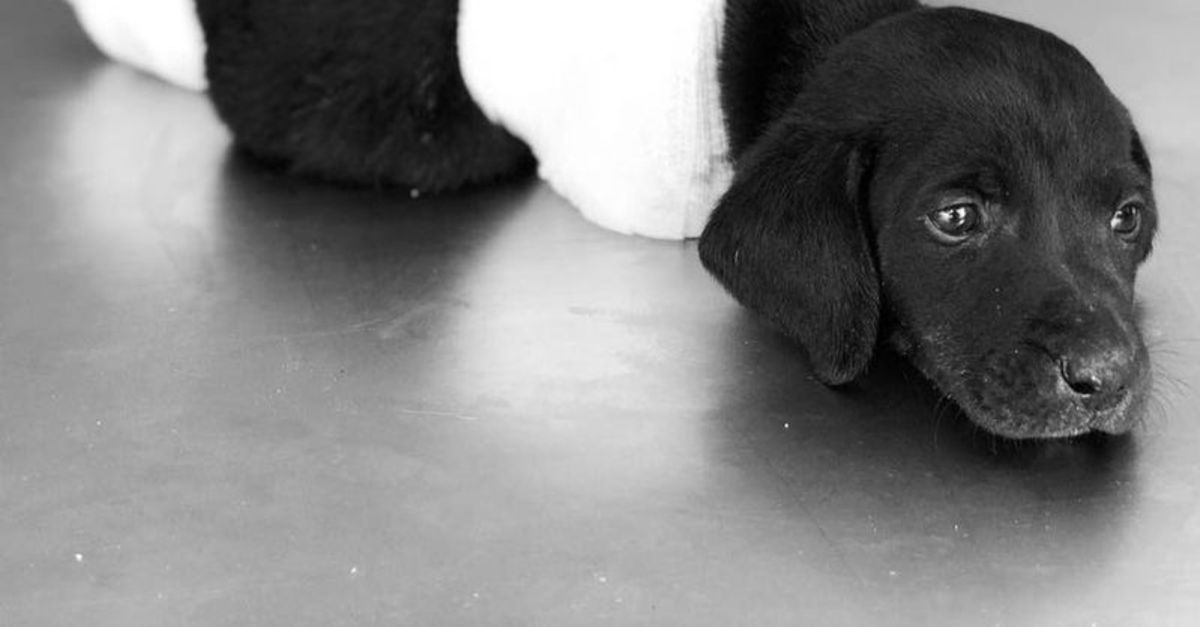 Köpeklerin Kulaklarını, Kuyruklarını Kesen Caniler
