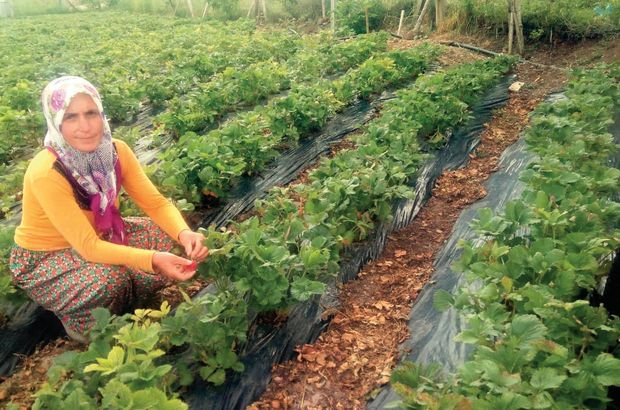 Organik çilek 50 ailenin hayatını değiştirdi