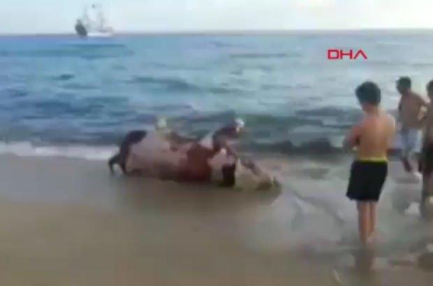 Antalya'da ölü inek karaya vurdu