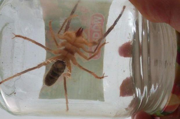 Son dakika: Bilecik'te et yiyen örümcek alarmı!