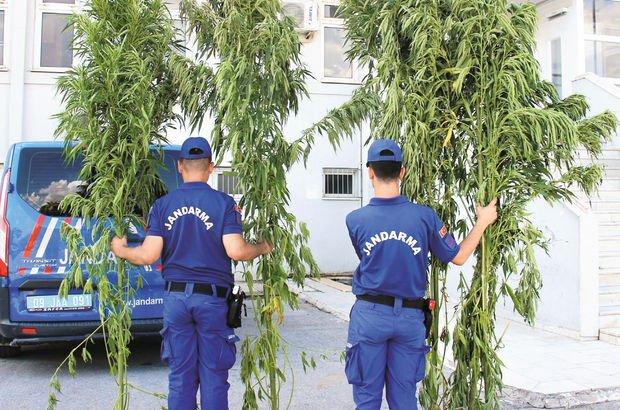 Aydın'da 4 metrelik hint keneviri ormanı