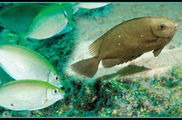 Denizlerimizde yeni balıkların istila tehdidi