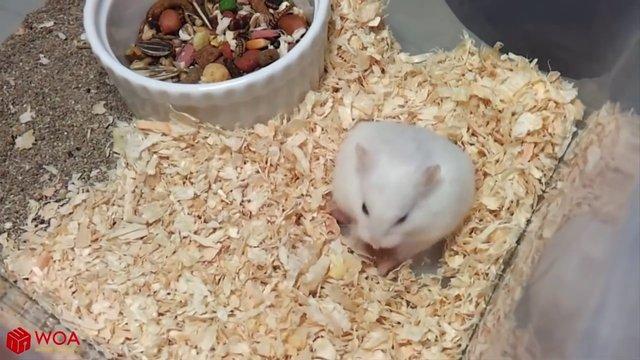 Hamsterın doğum yaptığı anlar böyle kaydedildi