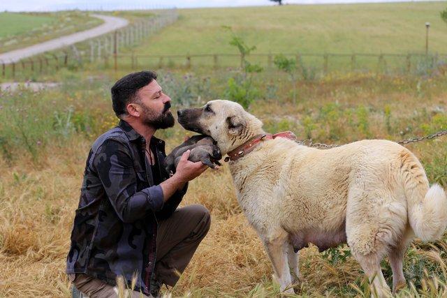 """""""Sadık dost"""" Kangal köpeklerine ilgi arttı"""
