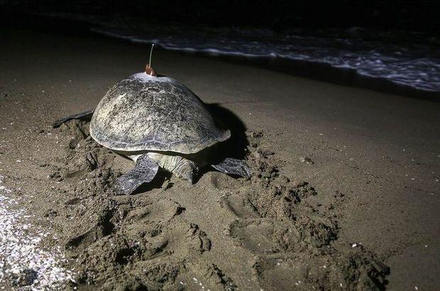 Kaplumbağa 48 günde Adana'dan Mısır'a gitti