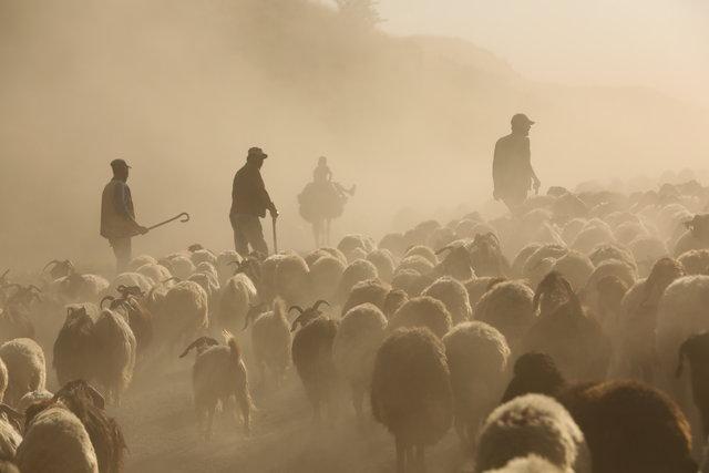 Koyunların Nemrut Dağı'na tozlu yolculuğu