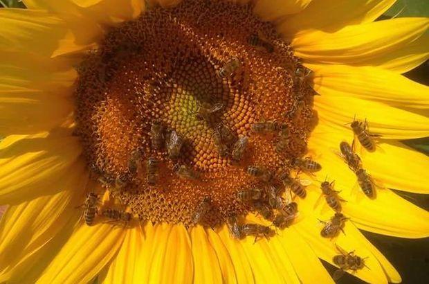 Trakya'da arı ölümleri