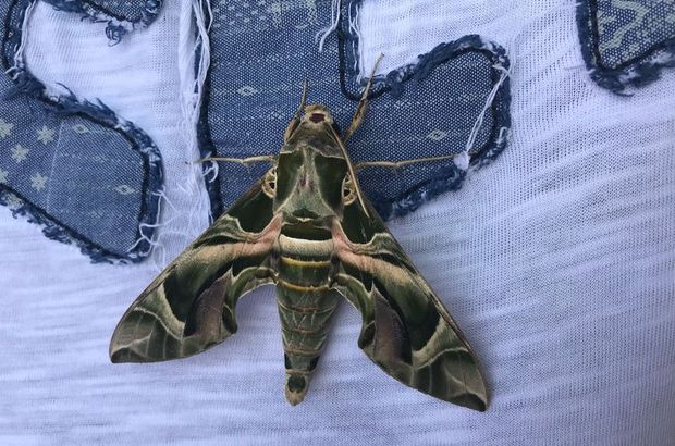 Mekik kelebeği