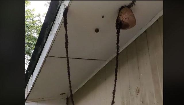 İp yok, halat yok! Bu karıncalar hedefe nasıl ulaştı? Karıncaların eşek arısı kovanına ulaşması şaşkına uğrattı!