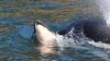 Anne katil balina, ölü yavrusunu 17 gün sırtında taşıdı