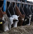 Toplanan inek sütü miktarı haziranda arttı