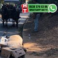 Bu at ölmemiş, bayılmış!