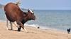 İsveç'te inekler çıplaklar plajına girebilecek: 'İnsanlar kadar ineklerin de hakkı'