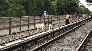 Kaçan keçiler metro seferlerini durdurdu!