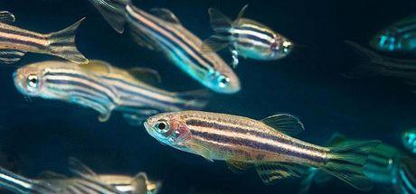 Her organını yenileyebilen Zebra balığı, Alzheimer için umut oldu