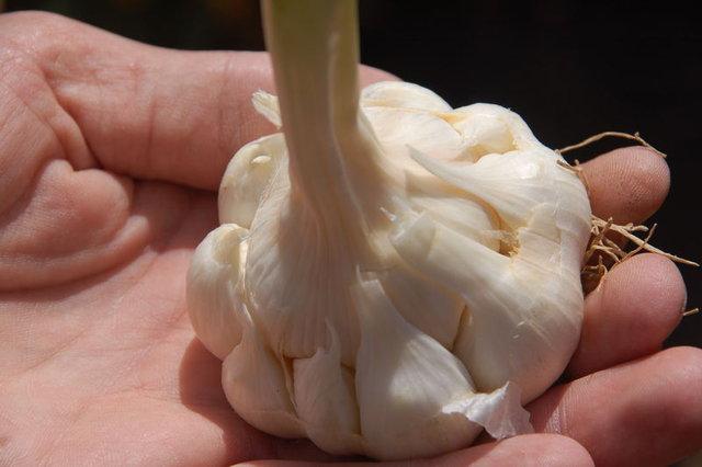 Sarımsağı sütle tüketmenin faydaları