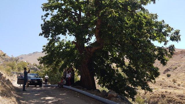 Niğde'deki 500 yıllık kestane ağacı ilgi odağı oluyor