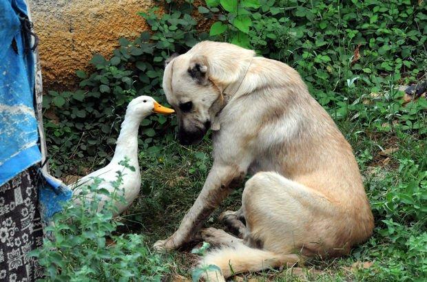 Ördek ile köpeğin ilginç dostluğu!