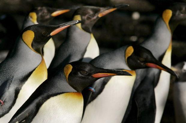 Gay penguenler