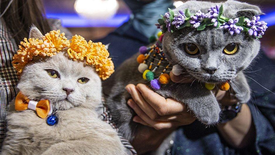 200 kedi arasından en güzeli seçildi