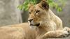 Hayvanat bahçesindeki dişi aslan üç yavrusunun babasını öldürdü