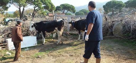 Burhaniye'de kuduz alarmı verildi, birçok hayvan aşılanıyor