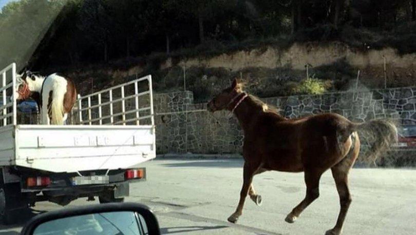Atı, kamyonetin kasasına bağlayıp koşturdu