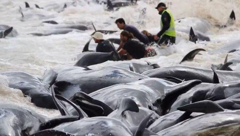 Yeni Zelanda'da acı görüntüler... 145 pilot balina karaya vurdu