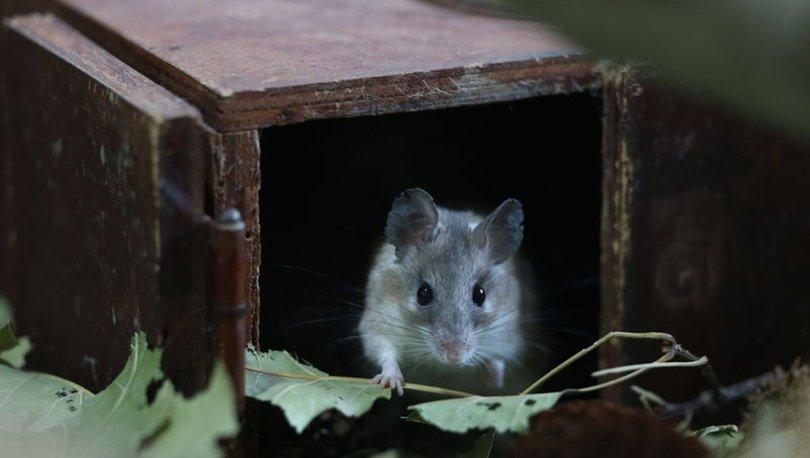 Dikenli fare koruma altında