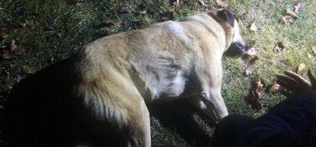 Başkent'te köpek katliamı: 8 sokak köpeği zehirlendi