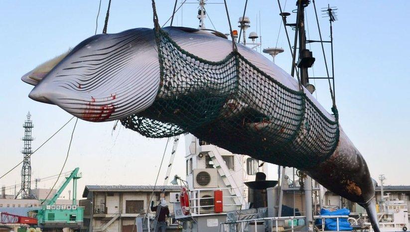 Japonya 30 yıllık yasağı kaldırıyor: Balina avına devam edecek!
