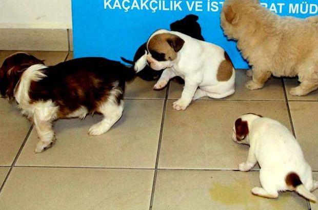 Kapıkule'de 20 köpek yavrusu ele geçti