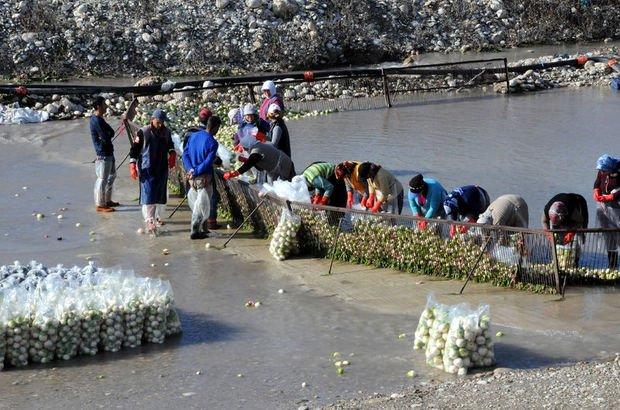 Turp yıkayan kadın işçiler