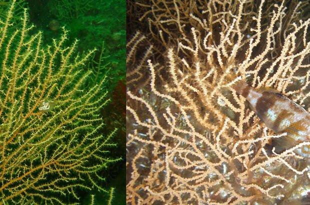 Marmara'da mercanlar ölüyor